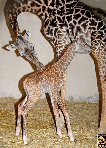 Baby Female Giraffe | by Los Angeles Zoo and Botanical Gardens