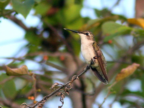 Ruby-throated hummingbird 20100926 | by Kenneth Cole Schneider