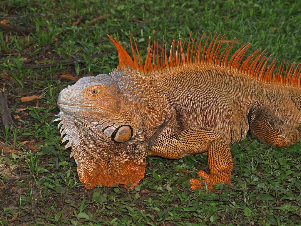 Resultado de imagen de iguana rojo