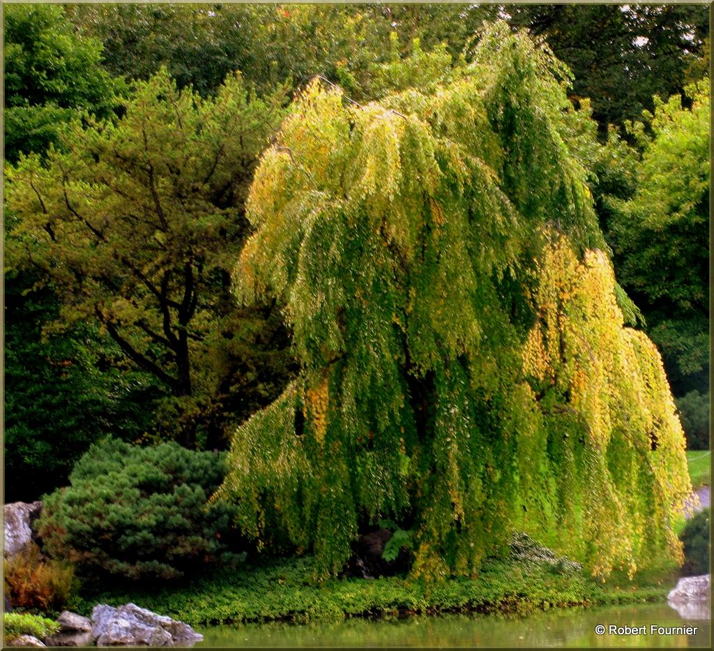 le saule pleureur cet migr cet arbre d une grande bea flickr. Black Bedroom Furniture Sets. Home Design Ideas