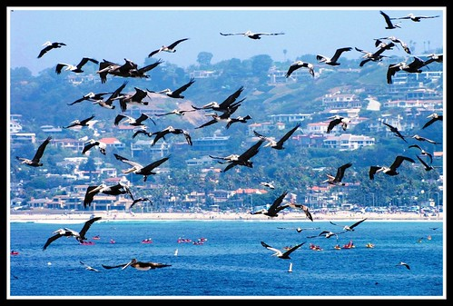 Flight of the Pelicans, San Diego | by moonjazz