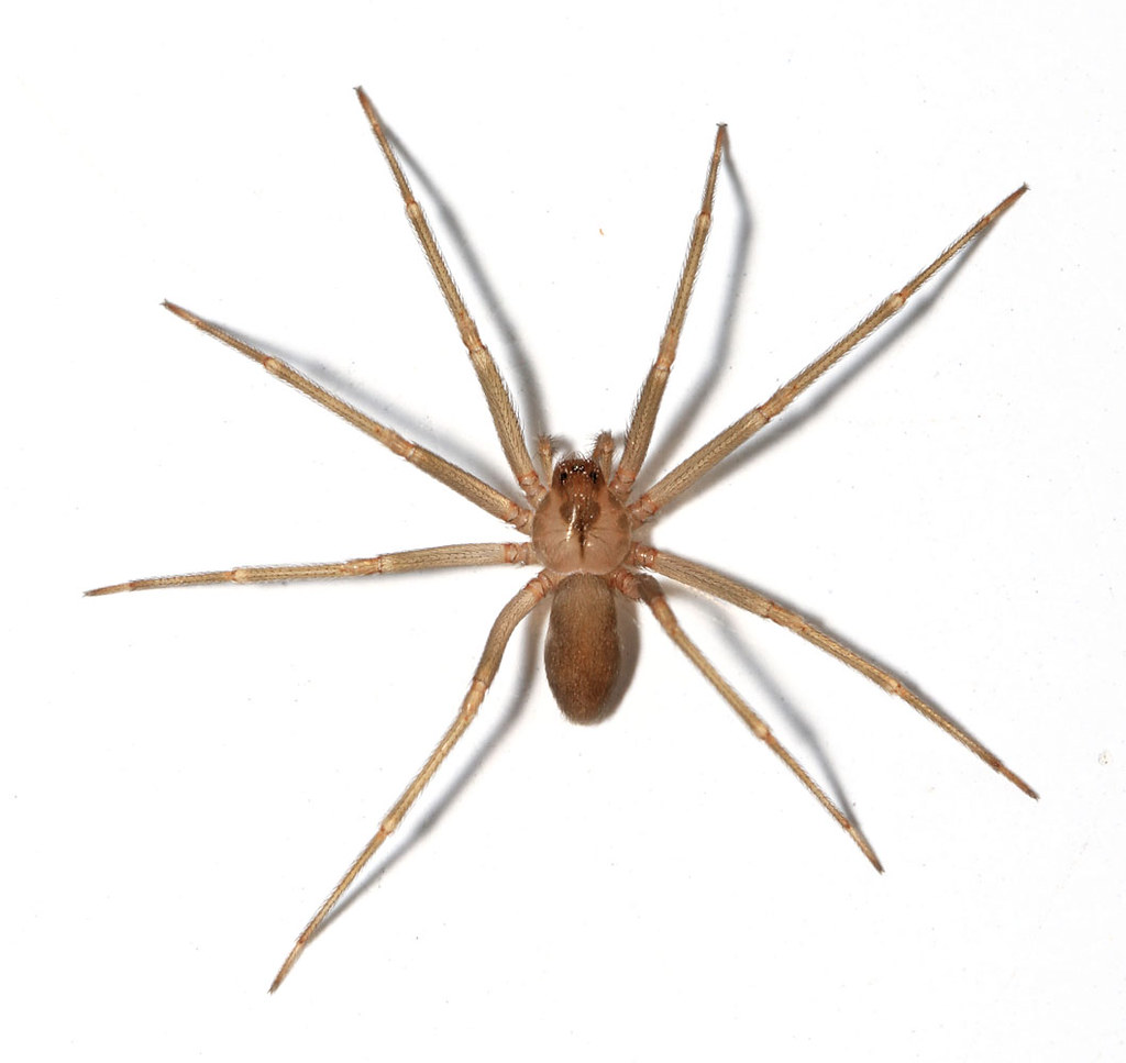 Spider recluse of pictures a brown