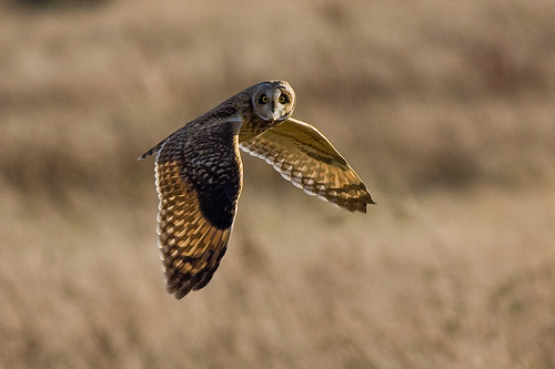 "Short Eared Owl (Asio flammeus) | by ""Clare"""