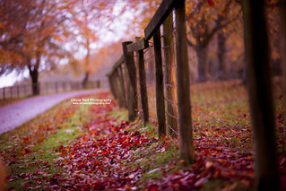 An old fence with a fading Autumn... (explore) | by Olivia L'Estrange-Bell