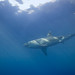 Guadalupe White Shark Trip