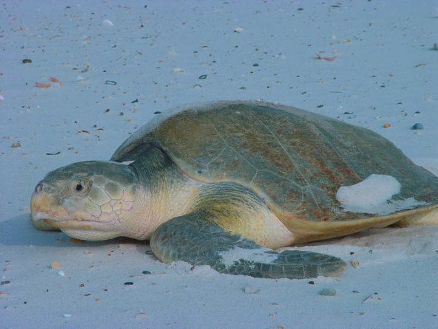 Kemp S Ridley Sea Turtle Release Padre Island