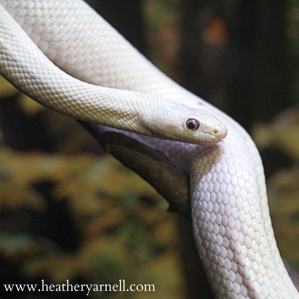 The corn snake Pantherophis guttatus is a North American species of rat snake that subdues its small prey by constriction It is found throughout the southeastern