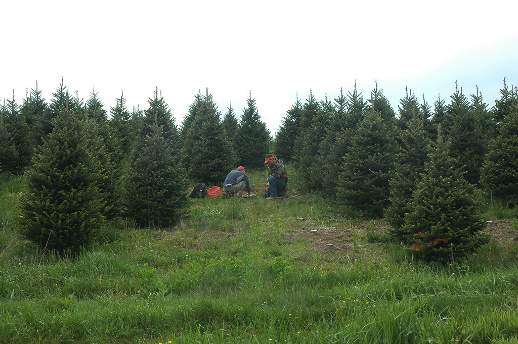 Christmas Tree Production (9) - Copy