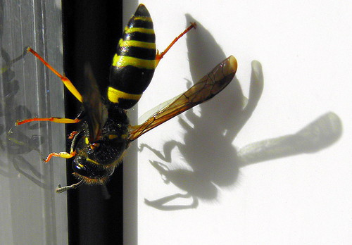 wasp with shadow + | by © the-best-is-yet-to-come ©