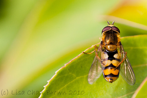 Day 208 of 365 - Hoverfly | by Yatty LRPS