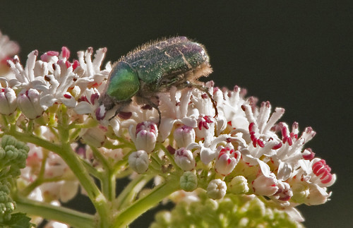 Beetle - Rose Chafer | by Hawkeye2011