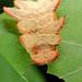 Phobetron pithecium