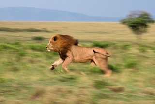 Running lion | by Panthera Cats