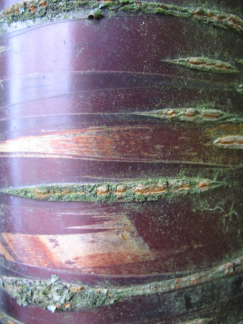 Tibetaanse sierkers prunus serrula jardin de bellevue for Beaumont le hareng jardin de bellevue