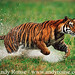 tiger_andyrouse_TG982CA_00034