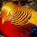 Bird - Golden Pheasant