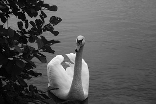 Swan in Lake | by Skogis95
