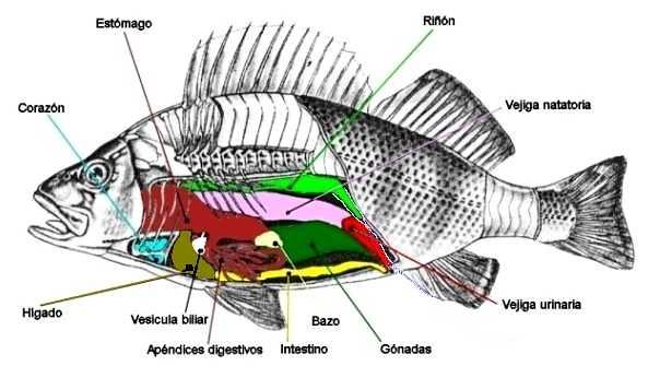 Anatomia Interna | Organos internos de los peces | Candido Gallego ...