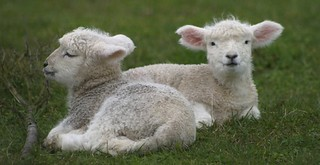 two-lambs | by robtast1c