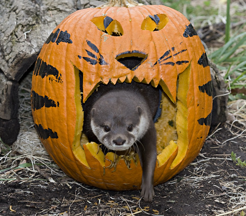 Asian Small Clawed Otter An Otter Crawls Out From The
