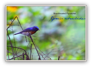 Blue-throated Flycatcher- Cyronis rubeculoides | by drgeorgemj