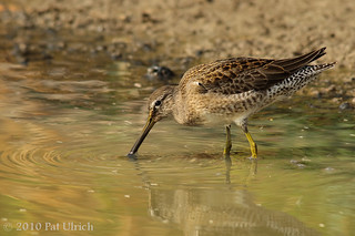 Probing dowitcher (1of2) | by Pat Ulrich