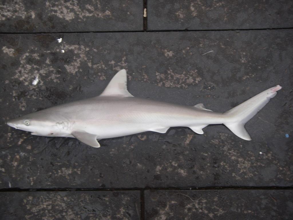 fish4137 blacknose shark carcharhinus acronotus