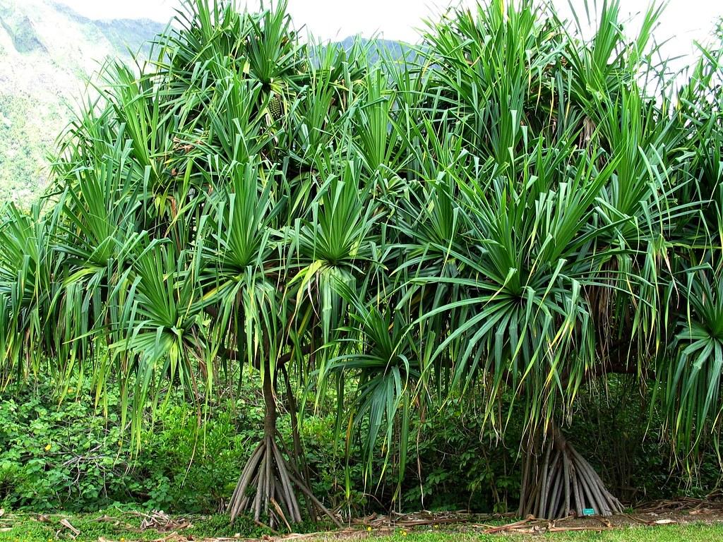 Pandanus Tectorius Hala Or Screwpine Pandanaceae