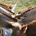 Donkey Ears 3