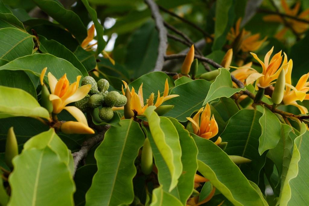 Magnolia Champaca / Michelia Alba / Michelia champaca ...