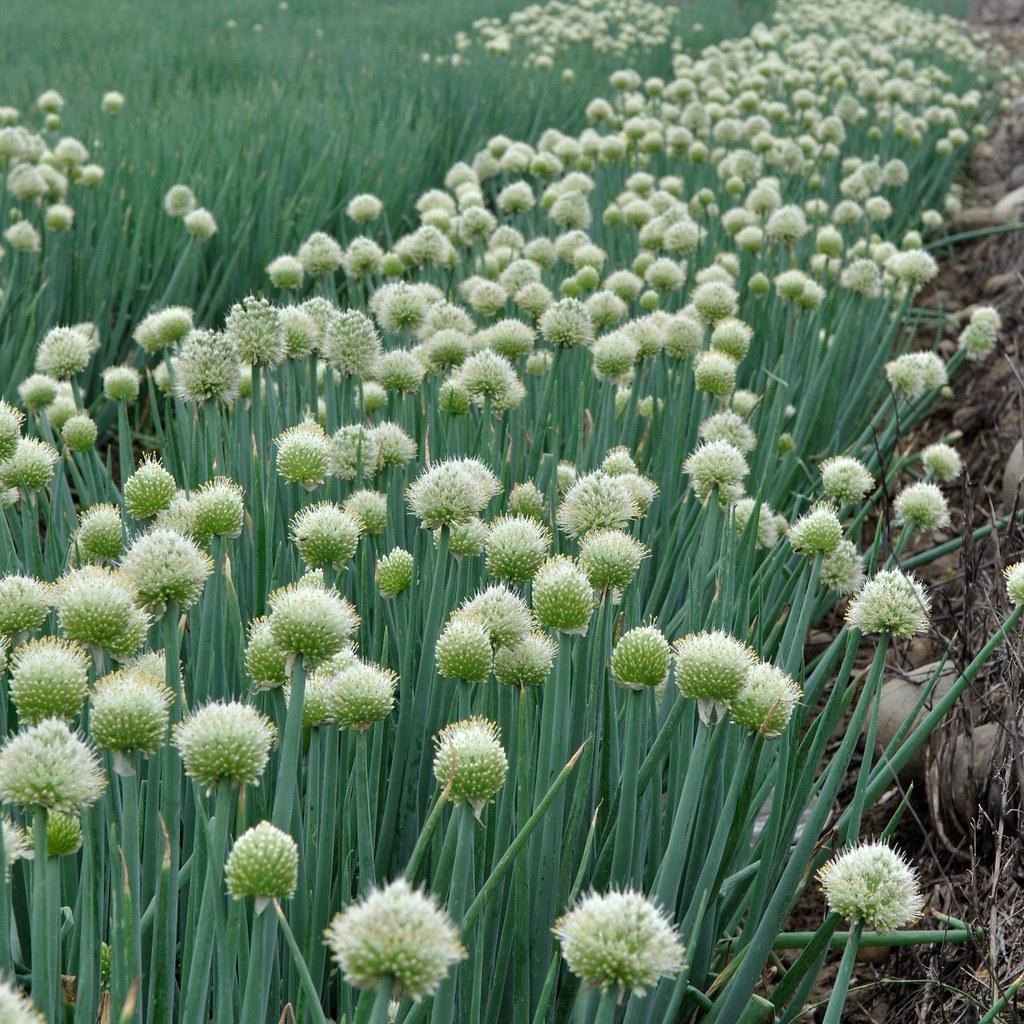 what color are onion flowers