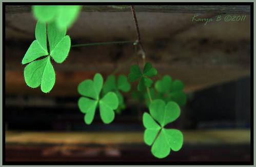 Image Result For Three Leaf Clover
