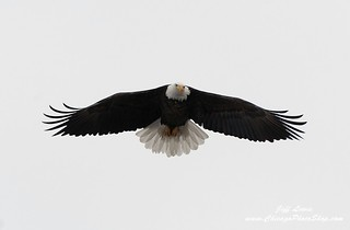 American Bald Eagle | by ChicagoPhotoShop