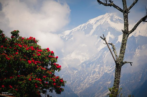 Rhododendron and Himalayas | by abmiller99