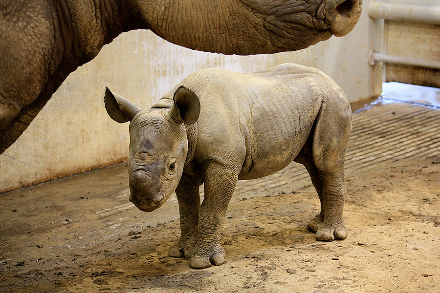 Baby Black Rhino born August 17, 2010   Cleveland ...