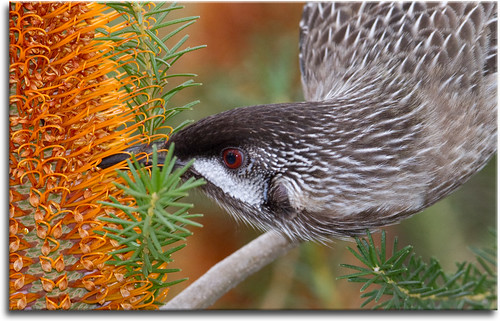 Wattle bird and banksia | by aaardvaark