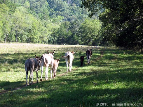 Donkeys Heading Back out into the Field after Treat Time | by Farmgirl Susan