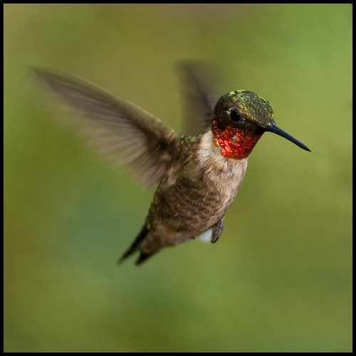 Adolescent male ruby-throated hummingbird 9 | by Jen St. Louis