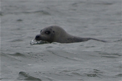 A Seal just off Hunstanton | by chris37111