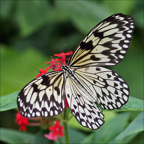 rice paper butterfly Rice paper butterfly 48 piece classic free online jigsaw puzzles, thousands of pictures and puzzle cuts the rice paper butterfly, also called the paper kite butterfly, wood nymph,.
