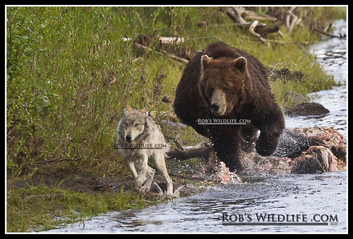 Grizzly Bear and Gray Wolf-5521-W | by RobsWildlife.com © TheVestGuy.com