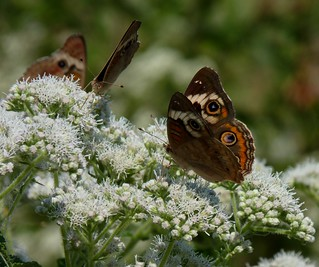 Common Buckeye | by Dendroica cerulea