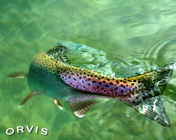 Orvis fly fishing contest over the rainbow rainbow for Orvis fly fishing blog