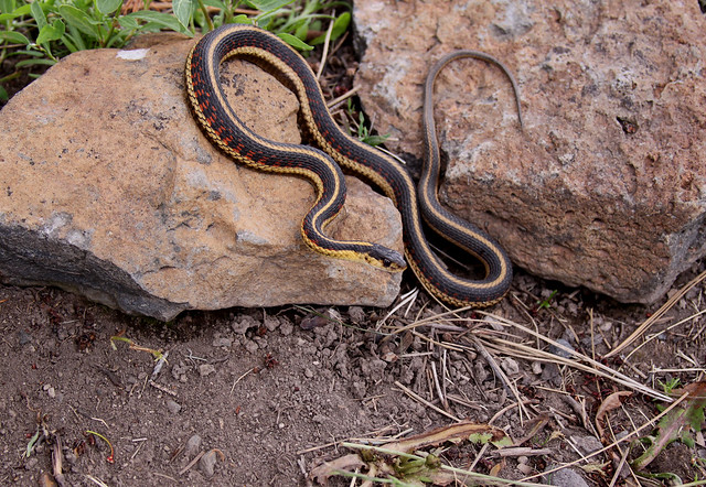 Valley Garter Snake Thamnophis Sirtalis Fitchi Adult Flickr Photo Sharing