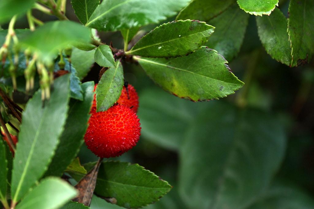 Strawberry Tree | Strawberry Tree (Arbutus unedo) From ... Strawberry Tree Edible