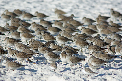 Red Knots and Sanderlings | by Dan Irizarry