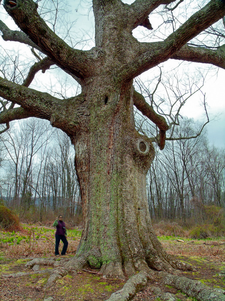 Sacred Oak | Oley Township, Berks County. The tree ...