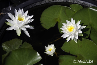 Waterlelie Diamond Snow / Nymphaea Diamond Snow