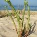 Morganheira-das-praias // Sea Spurge (Euphorbia paralias)