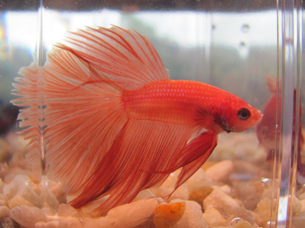 Orange Halfmoon Betta Fish | Isn\'t he pretty? :) Solid orang… | Flickr